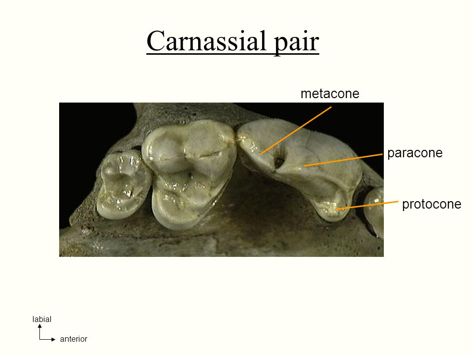 Carnassial pair metacone paracone protocone anterior labial