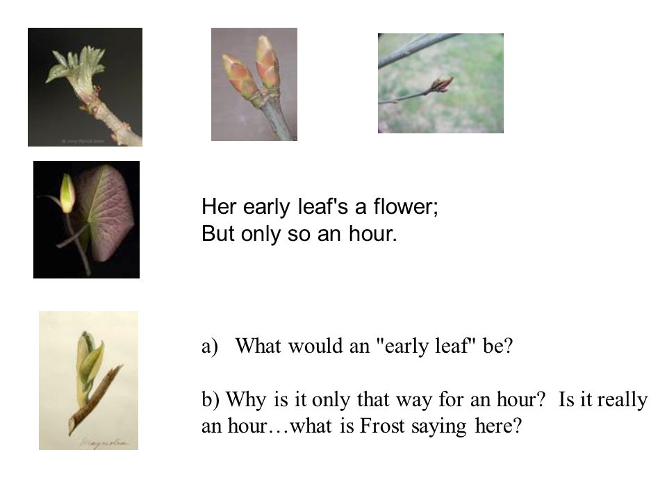 Her early leaf s a flower;