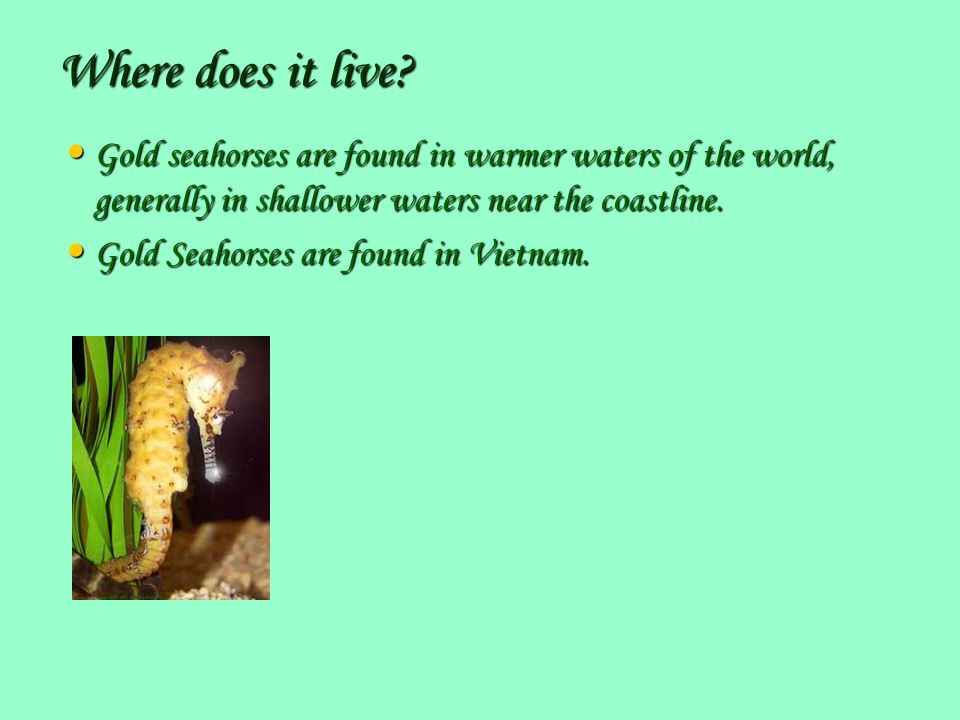 Where does it live Gold seahorses are found in warmer waters of the world, generally in shallower waters near the coastline.