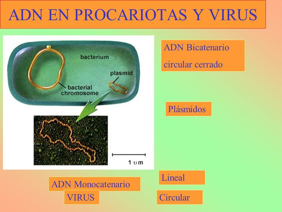 ADN EN PROCARIOTAS Y VIRUS