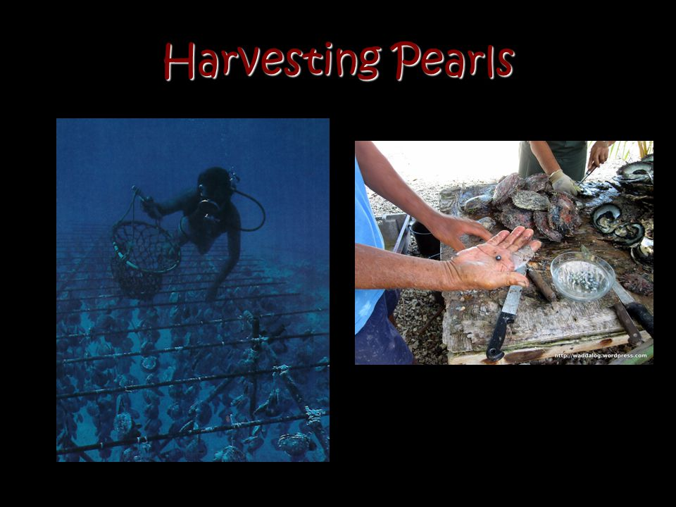 Harvesting Pearls