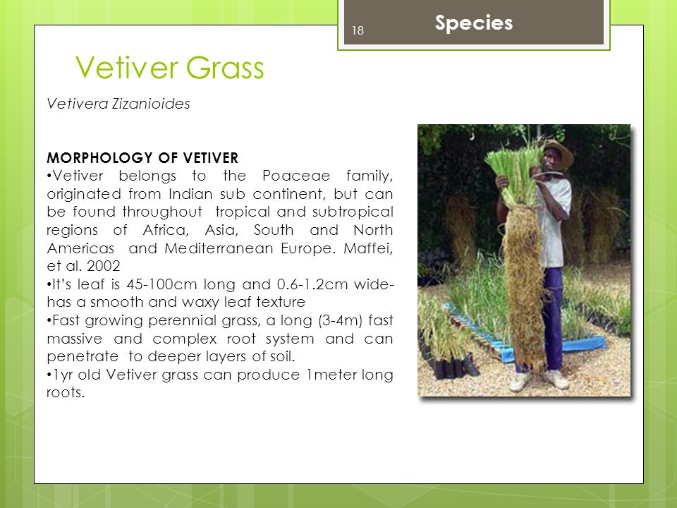 Vetiver Grass Species Vetivera Zizanioides MORPHOLOGY OF VETIVER