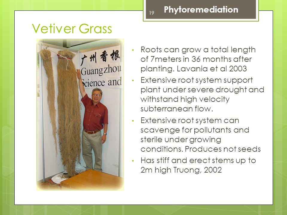 Vetiver Grass Phytoremediation