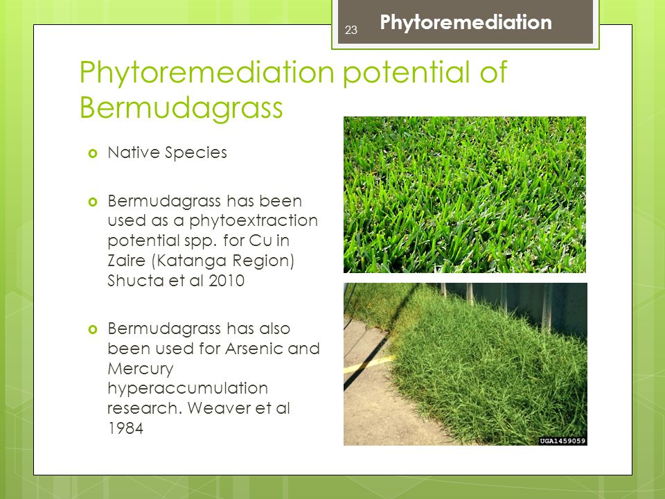 Phytoremediation potential of Bermudagrass