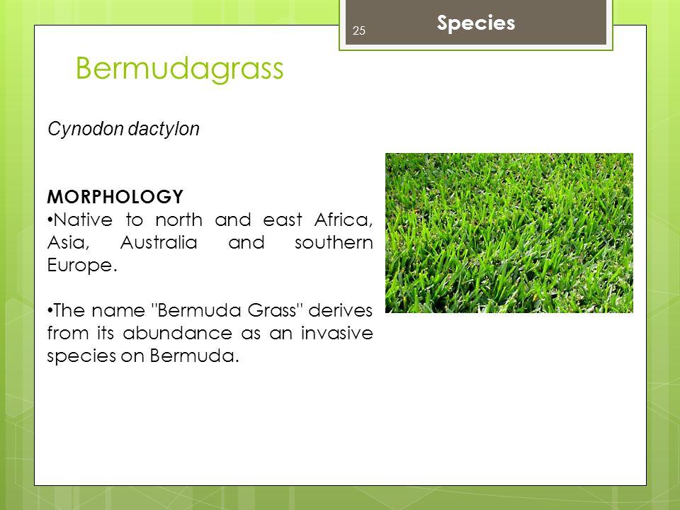 Bermudagrass Species Cynodon dactylon MORPHOLOGY