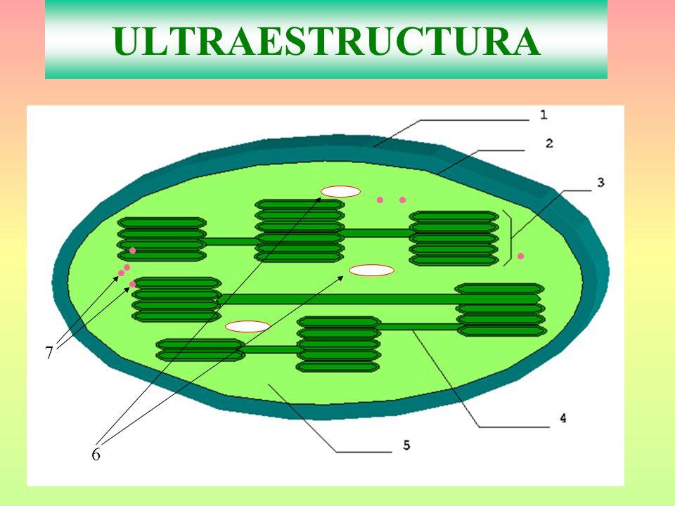 ULTRAESTRUCTURA 7 6