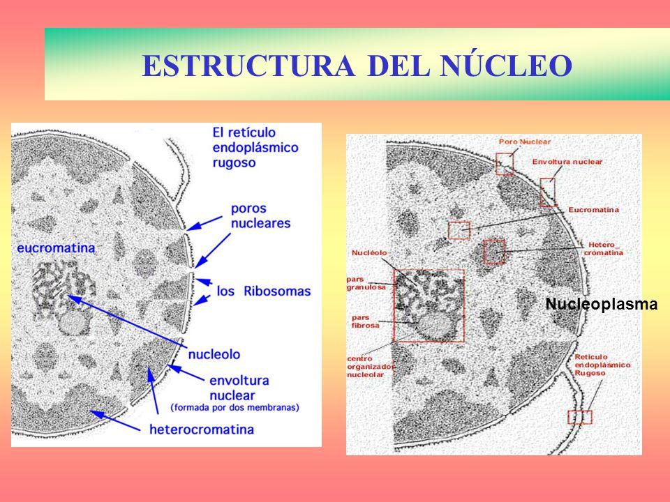 ESTRUCTURA DEL NÚCLEO Nucleoplasma