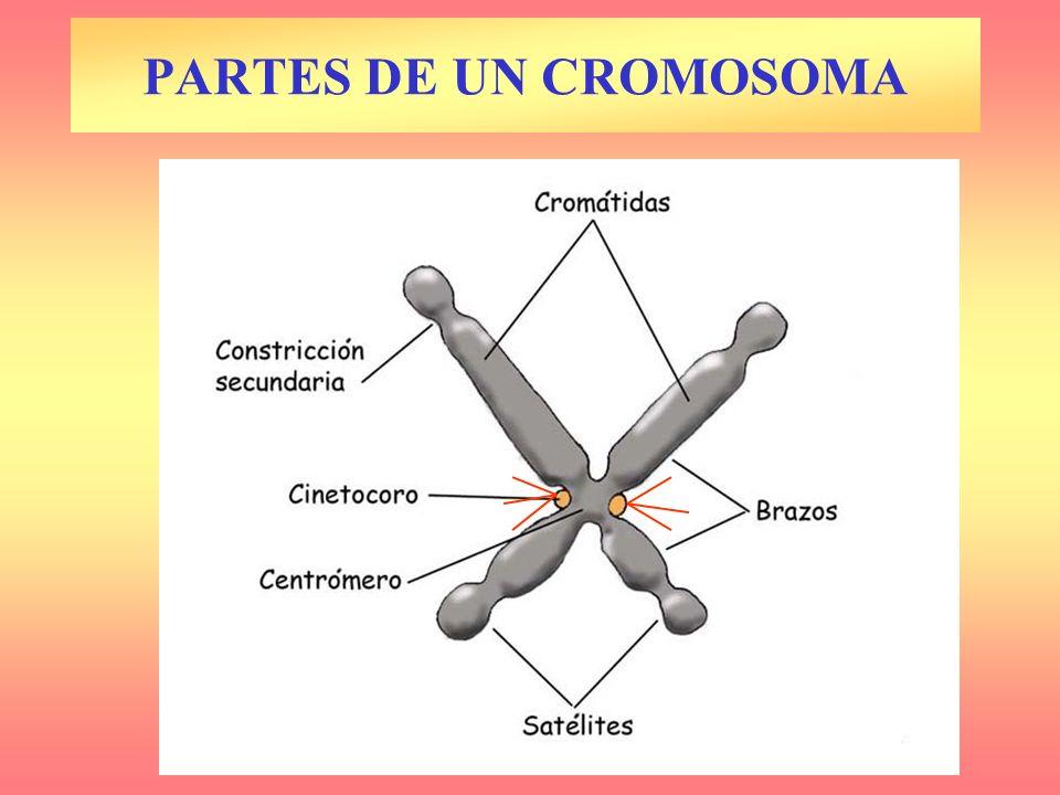 PARTES DE UN CROMOSOMA