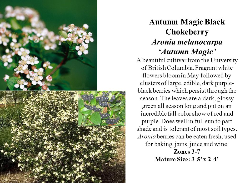Autumn Magic Black Chokeberry Aronia melanocarpa 'Autumn Magic' A beautiful cultivar from the University of British Columbia.