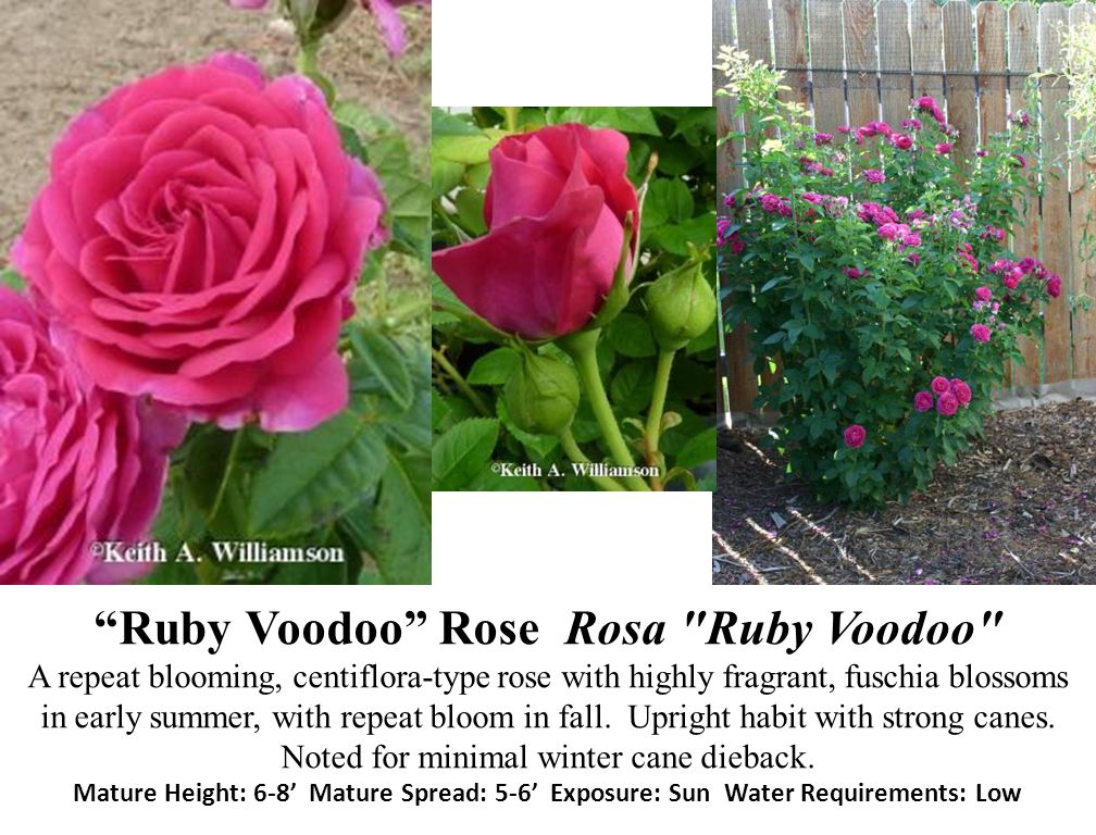 Ruby Voodoo Rose Rosa Ruby Voodoo A repeat blooming, centiflora-type rose with highly fragrant, fuschia blossoms in early summer, with repeat bloom in fall.