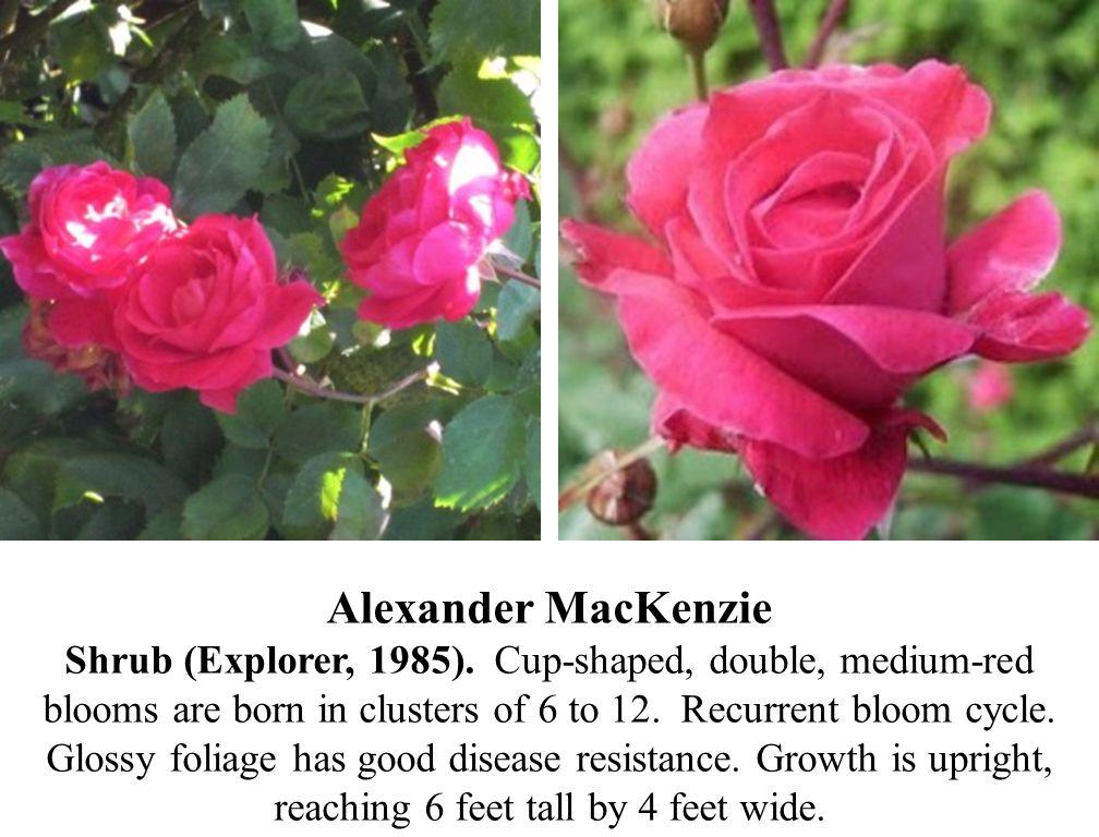 Alexander MacKenzie Shrub (Explorer, 1985)