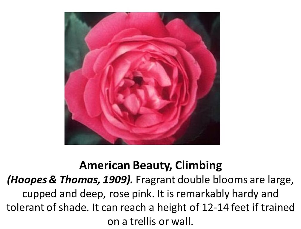 American Beauty, Climbing (Hoopes & Thomas, 1909)