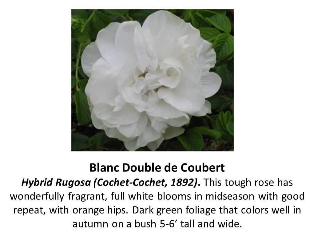 Blanc Double de Coubert Hybrid Rugosa (Cochet-Cochet, 1892)