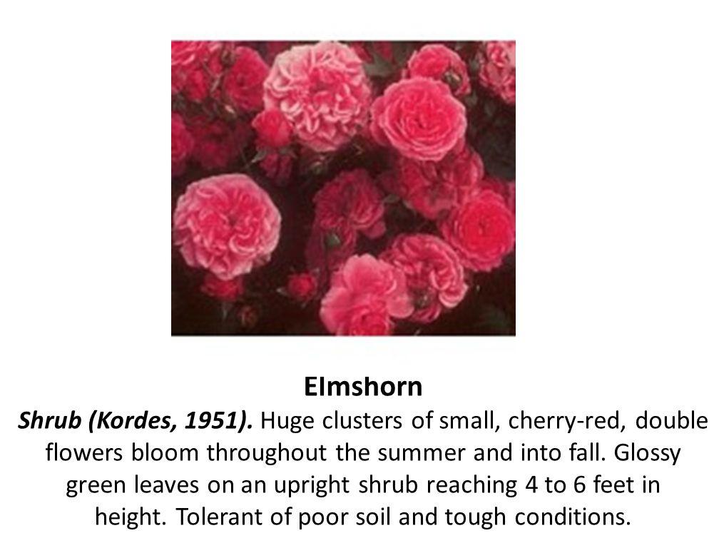Elmshorn Shrub (Kordes, 1951)