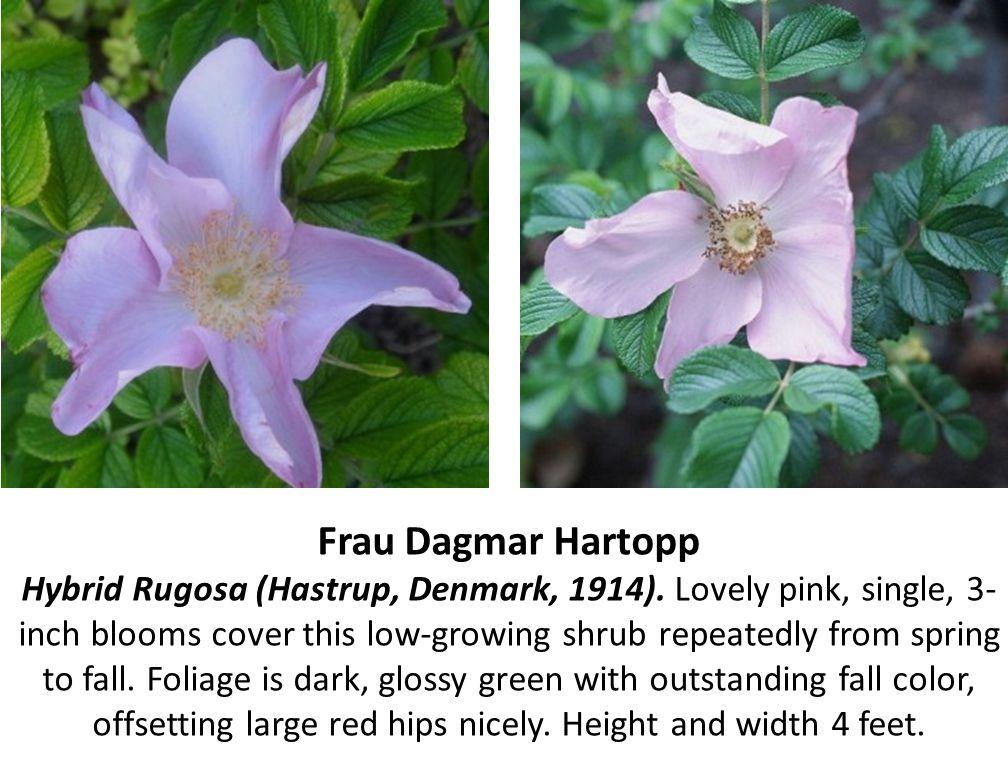 Frau Dagmar Hartopp Hybrid Rugosa (Hastrup, Denmark, 1914)