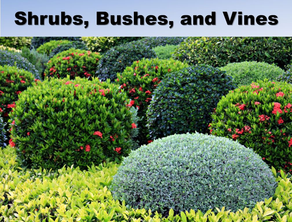 Shrubs, Bushes, and Vines