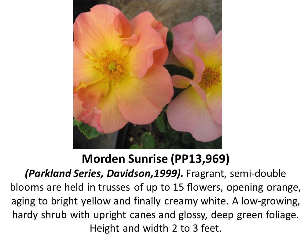 Morden Sunrise (PP13,969) (Parkland Series, Davidson,1999)