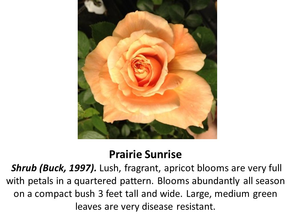 Prairie Sunrise Shrub (Buck, 1997)