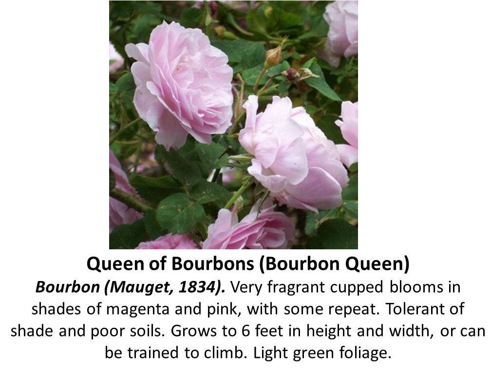 Queen of Bourbons (Bourbon Queen) Bourbon (Mauget, 1834)
