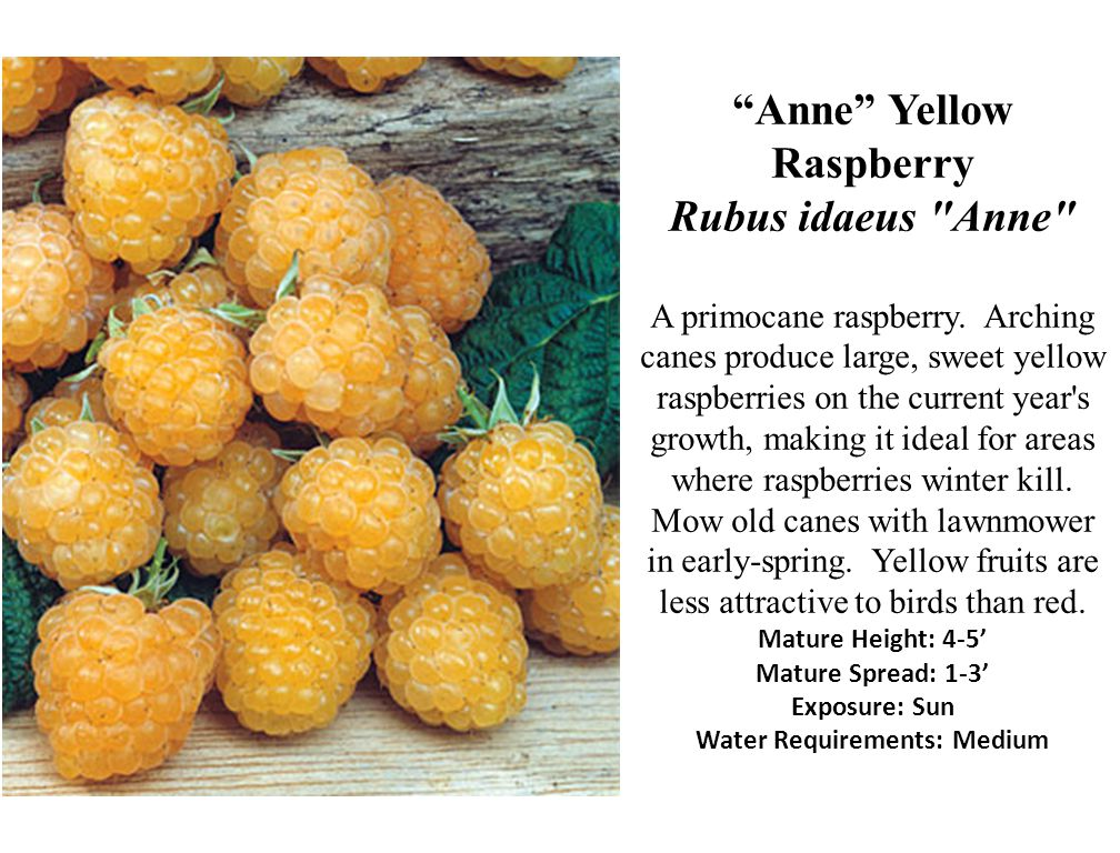Anne Yellow Raspberry Rubus idaeus Anne A primocane raspberry