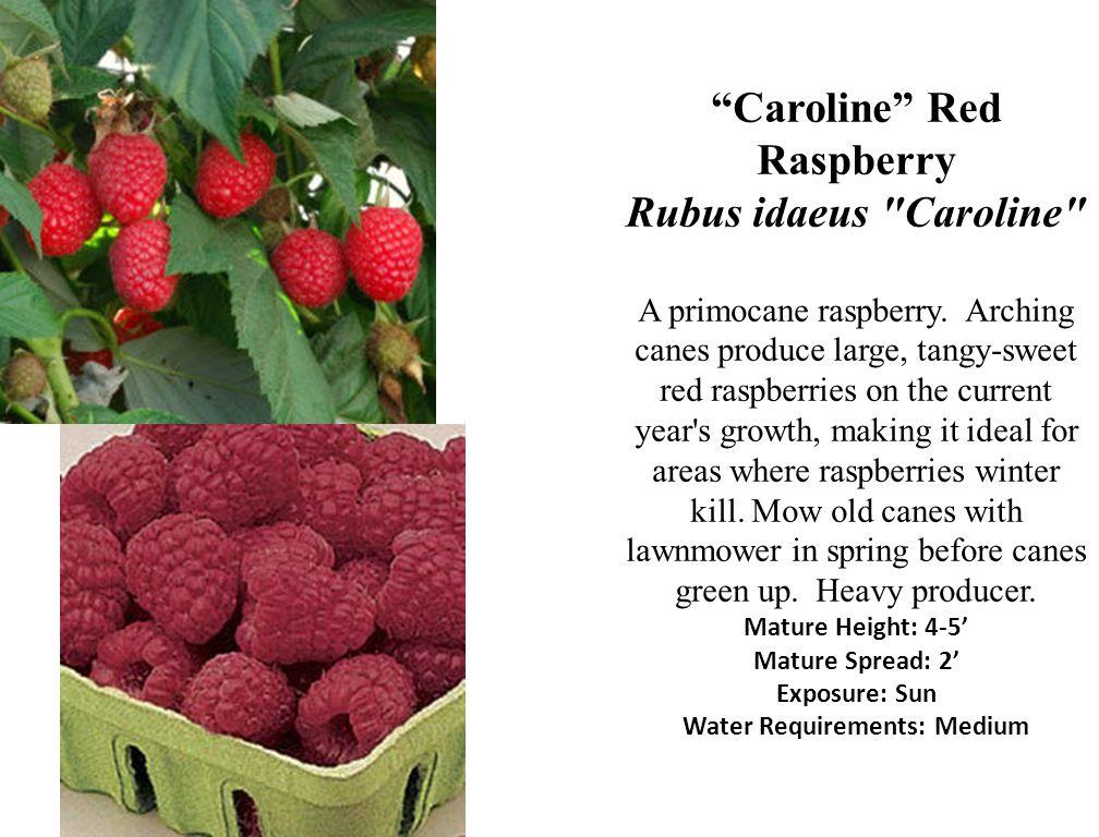Caroline Red Raspberry Rubus idaeus Caroline A primocane raspberry