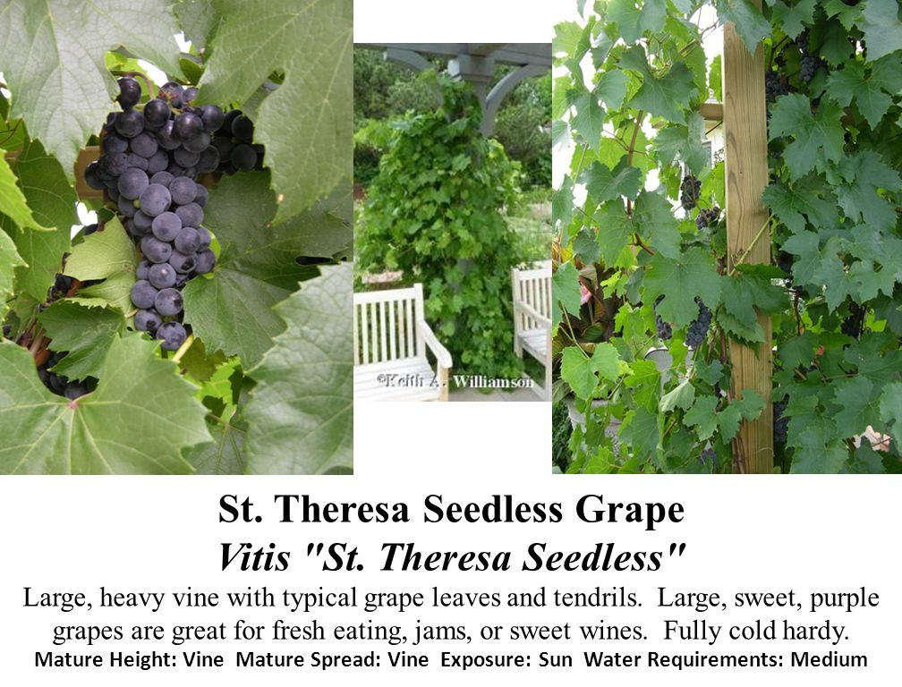 St. Theresa Seedless Grape Vitis St