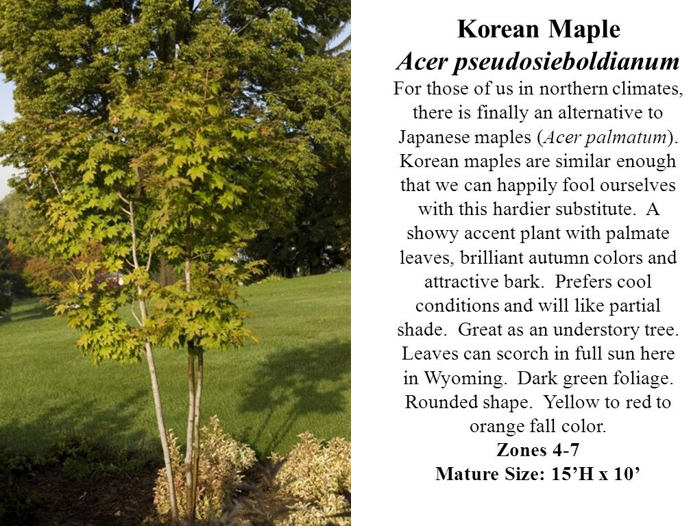 Korean Maple Acer pseudosieboldianum For those of us in northern climates, there is finally an alternative to Japanese maples (Acer palmatum).