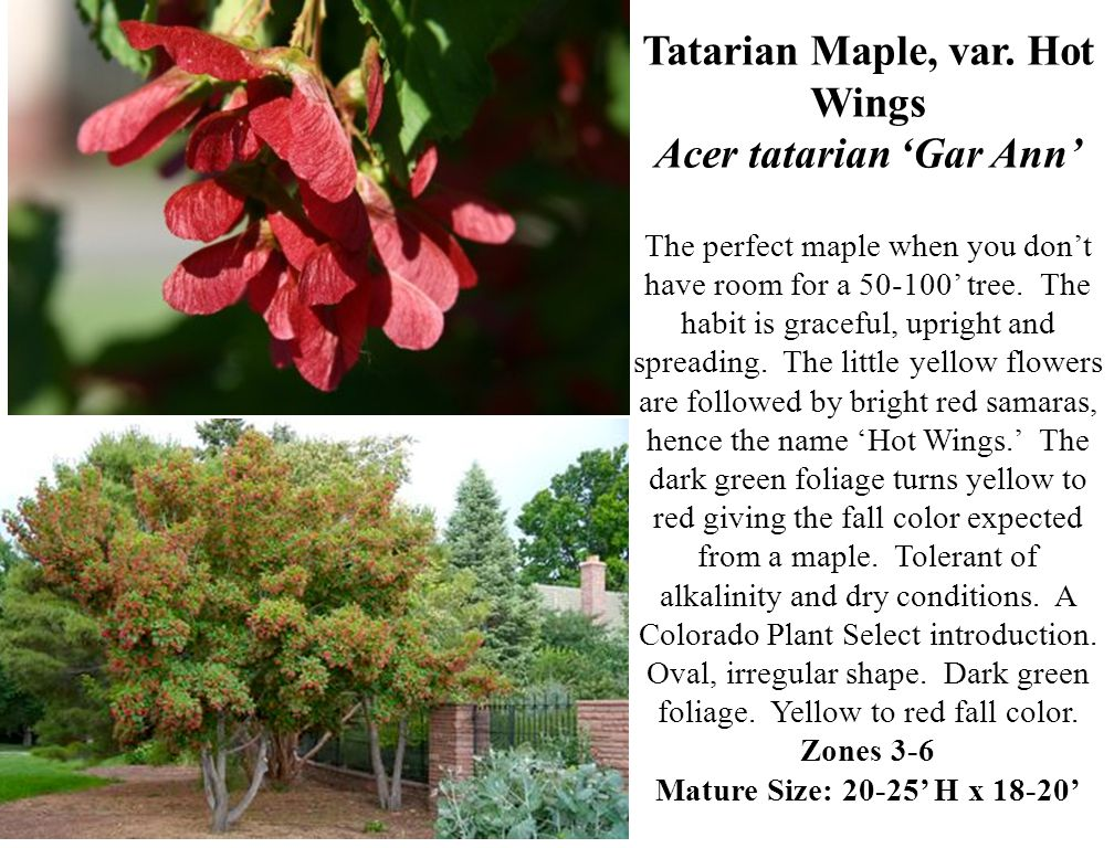 Tatarian Maple, var.