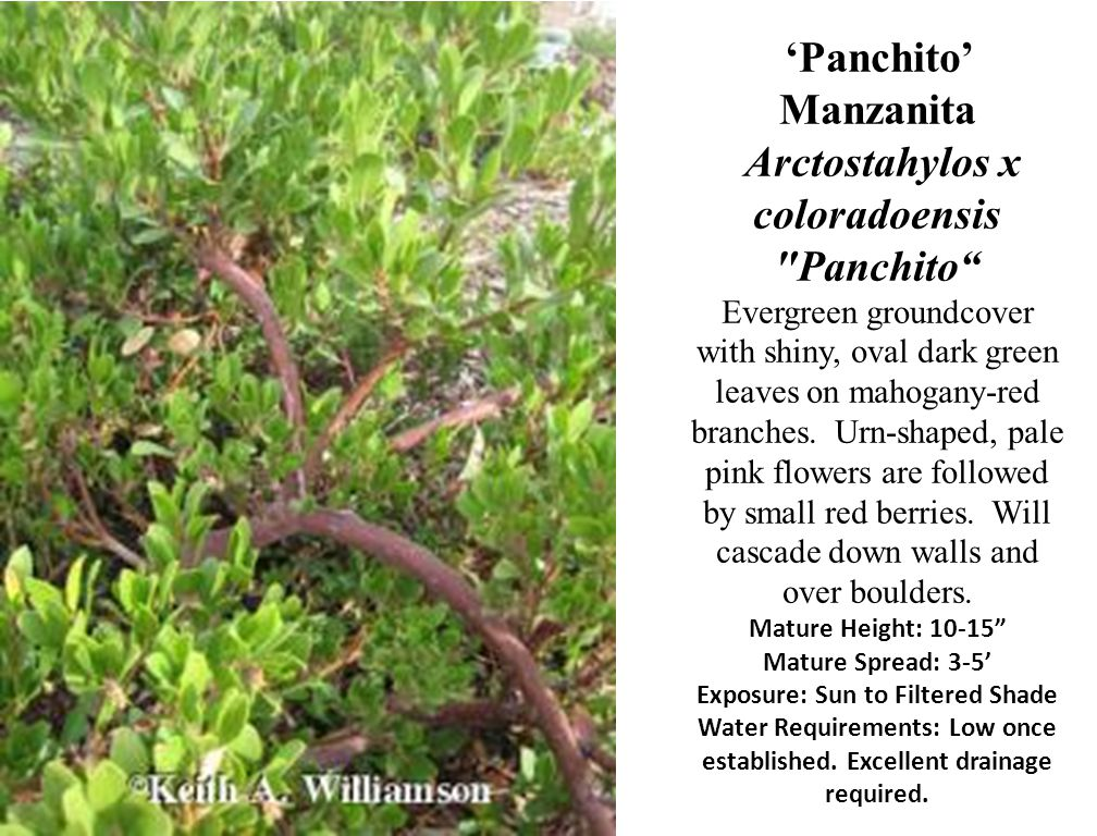 'Panchito' Manzanita Arctostahylos x coloradoensis Panchito Evergreen groundcover with shiny, oval dark green leaves on mahogany-red branches.
