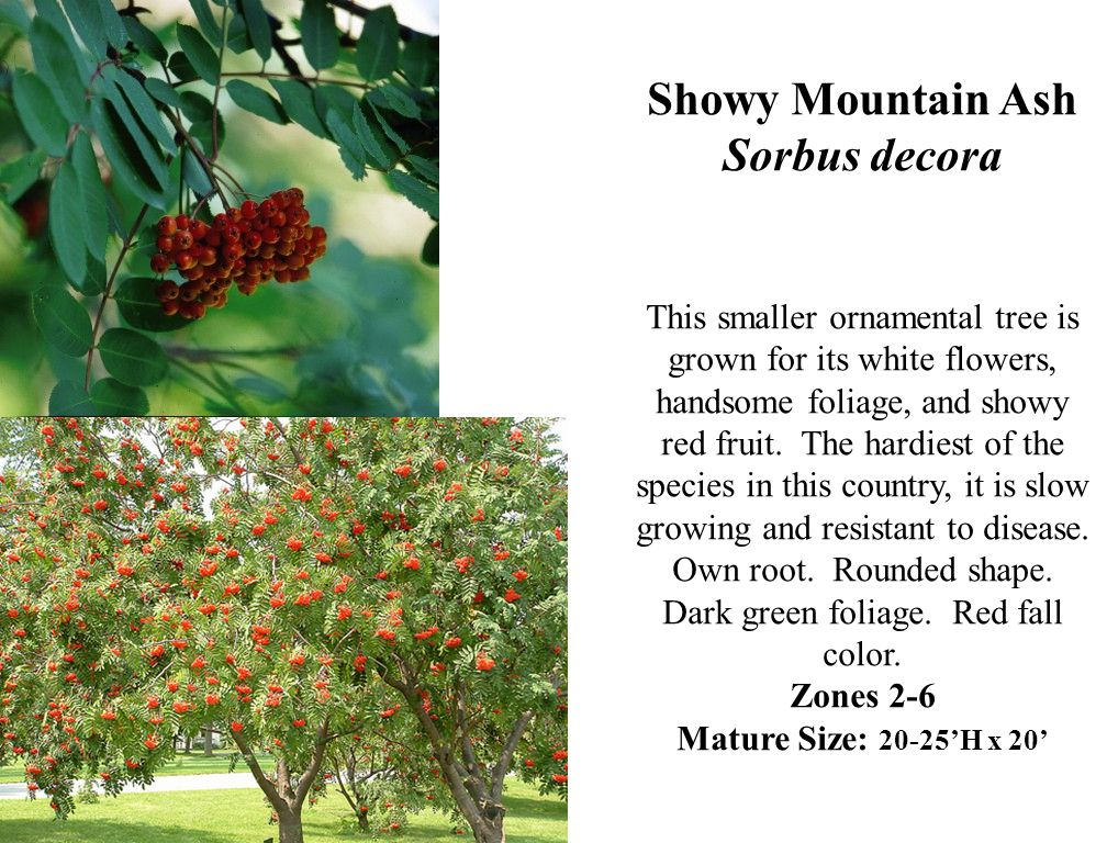 Showy Mountain Ash Sorbus decora This smaller ornamental tree is grown for its white flowers, handsome foliage, and showy red fruit.