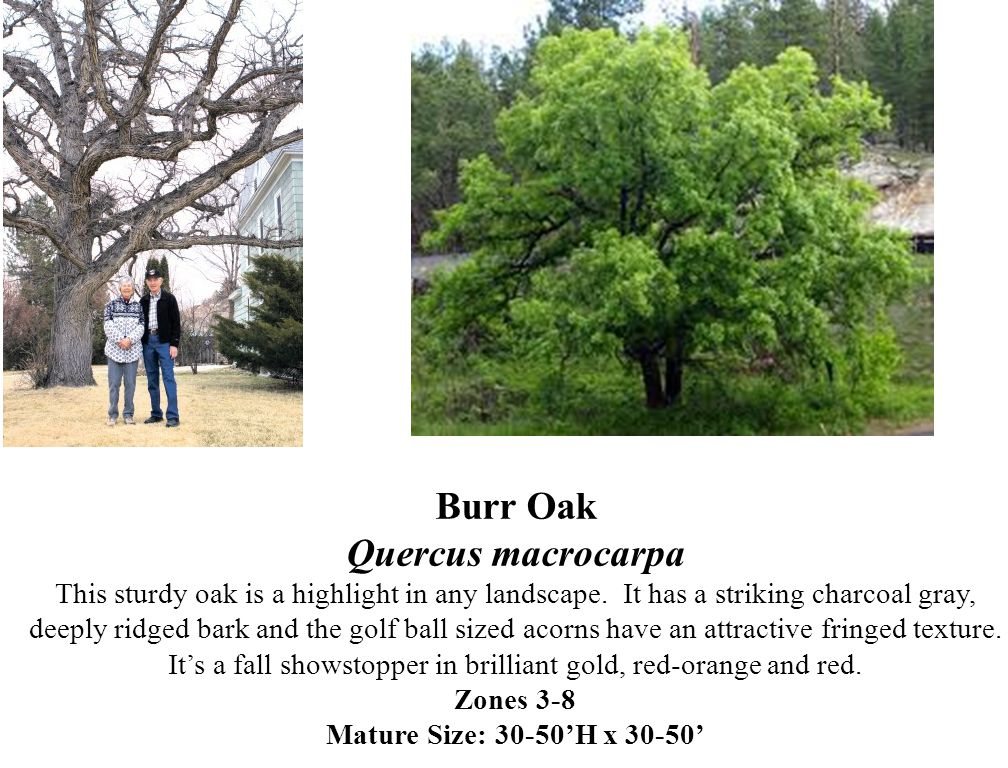 Burr Oak Quercus macrocarpa This sturdy oak is a highlight in any landscape.