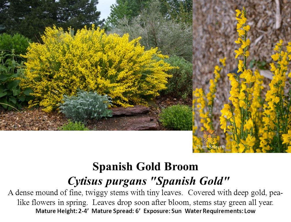 Spanish Gold Broom Cytisus purgans Spanish Gold A dense mound of fine, twiggy stems with tiny leaves.