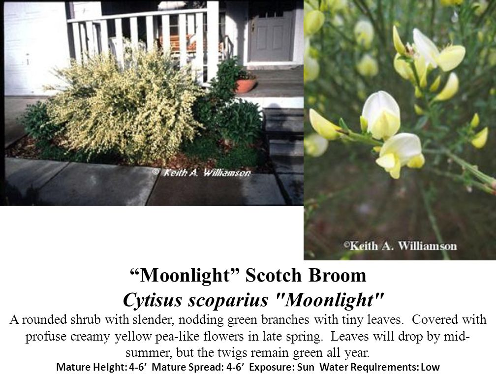 Moonlight Scotch Broom Cytisus scoparius Moonlight A rounded shrub with slender, nodding green branches with tiny leaves.