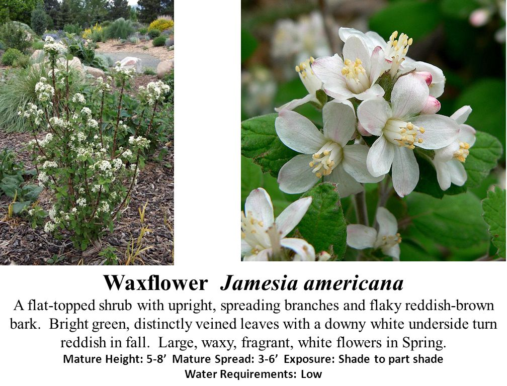 Waxflower Jamesia americana A flat-topped shrub with upright, spreading branches and flaky reddish-brown bark.