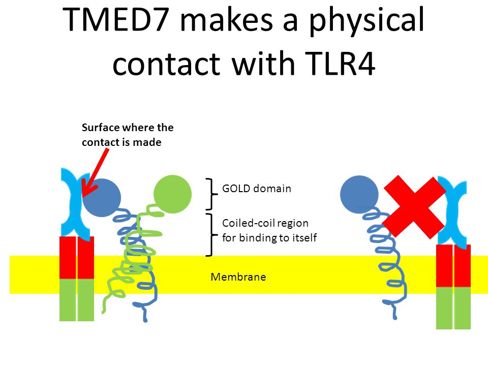 TMED7 makes a physical contact with TLR4
