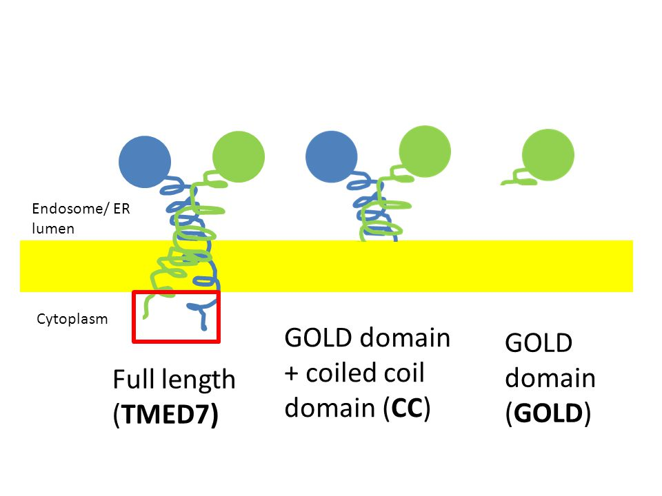 GOLD domain + coiled coil domain (CC) GOLD domain (GOLD)