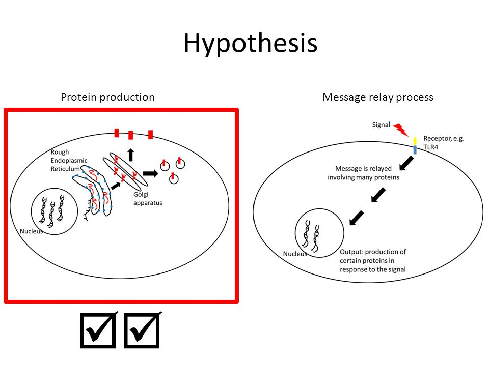 Hypothesis Protein production Message relay process 