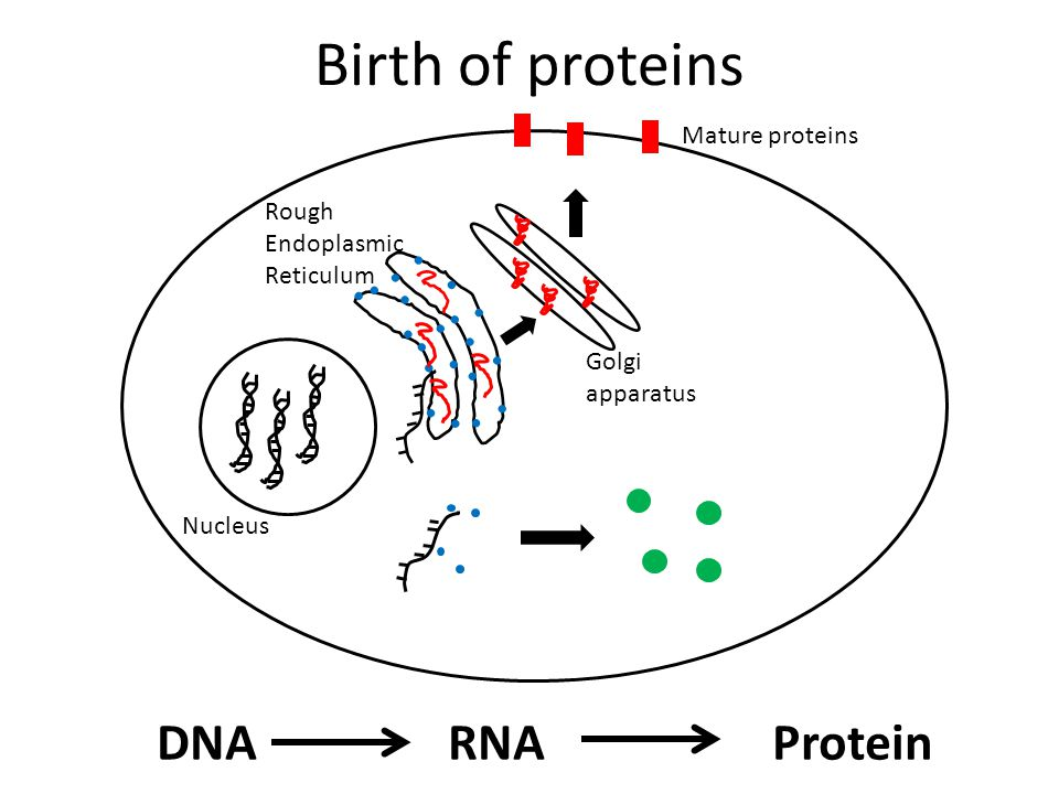 Birth of proteins DNA RNA Protein Mature proteins
