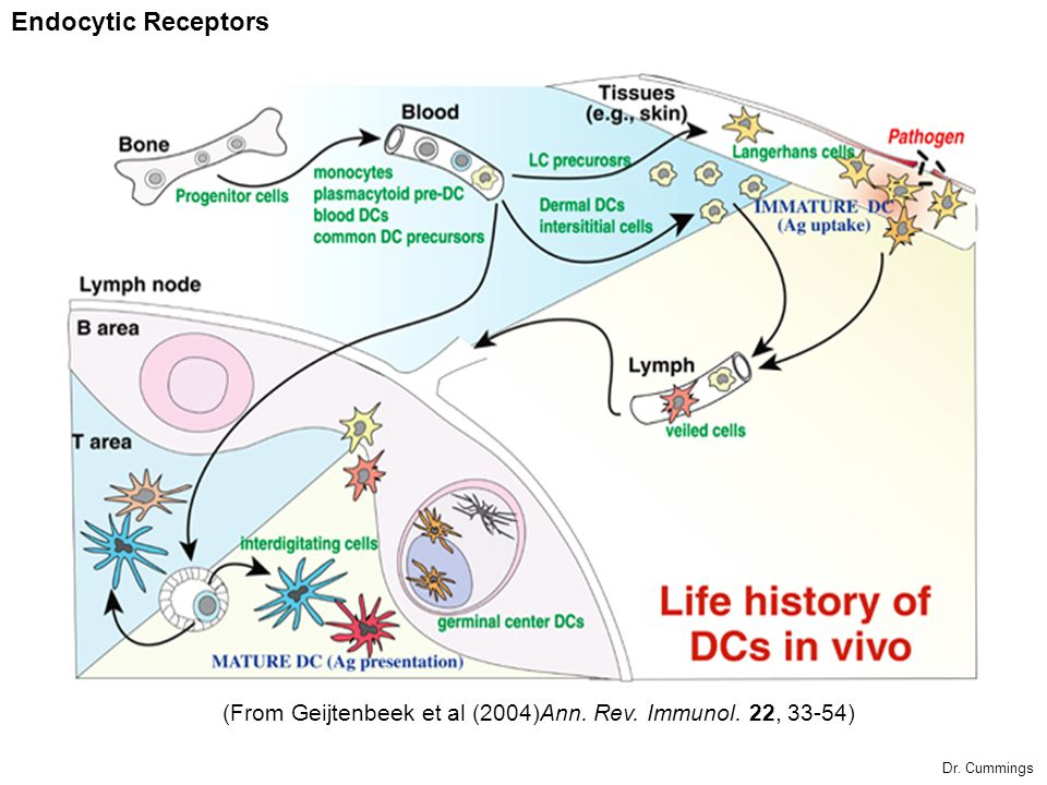 Endocytic Receptors (From Geijtenbeek et al (2004)Ann. Rev. Immunol. 22, 33-54) Dr. Cummings
