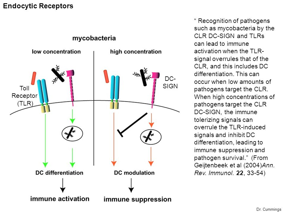 Endocytic Receptors