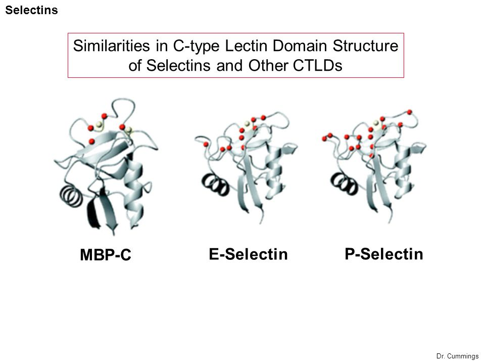 Similarities in C-type Lectin Domain Structure