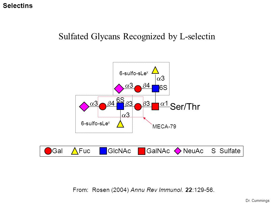 Sulfated Glycans Recognized by L-selectin