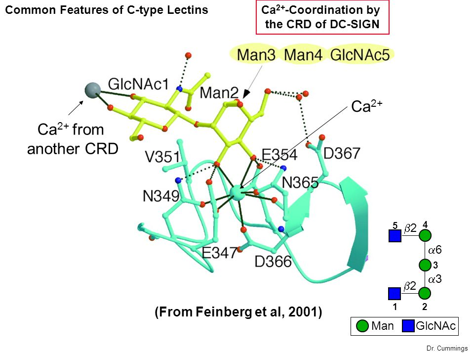 Ca2+ Ca2+ from another CRD (From Feinberg et al, 2001)
