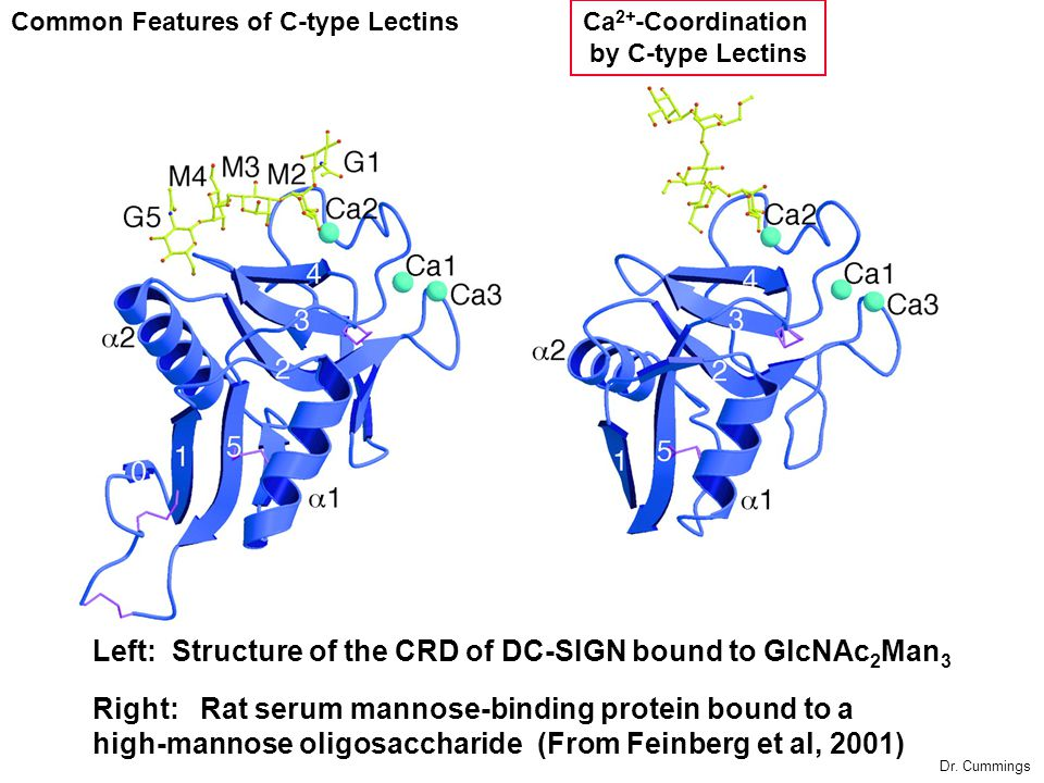 Left: Structure of the CRD of DC-SIGN bound to GlcNAc2Man3