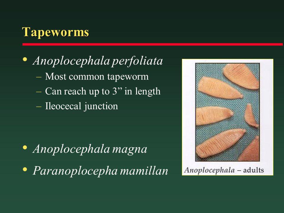 Tapeworms Anoplocephala perfoliata Anoplocephala magna