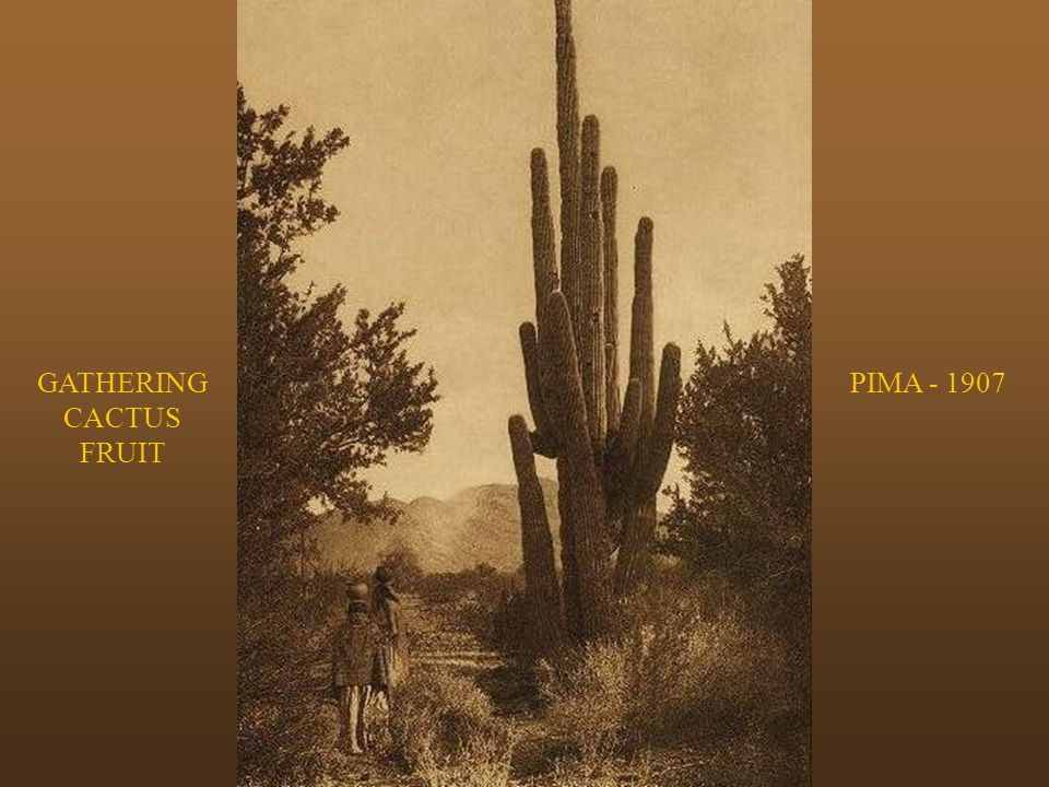 GATHERING CACTUS FRUIT PIMA - 1907