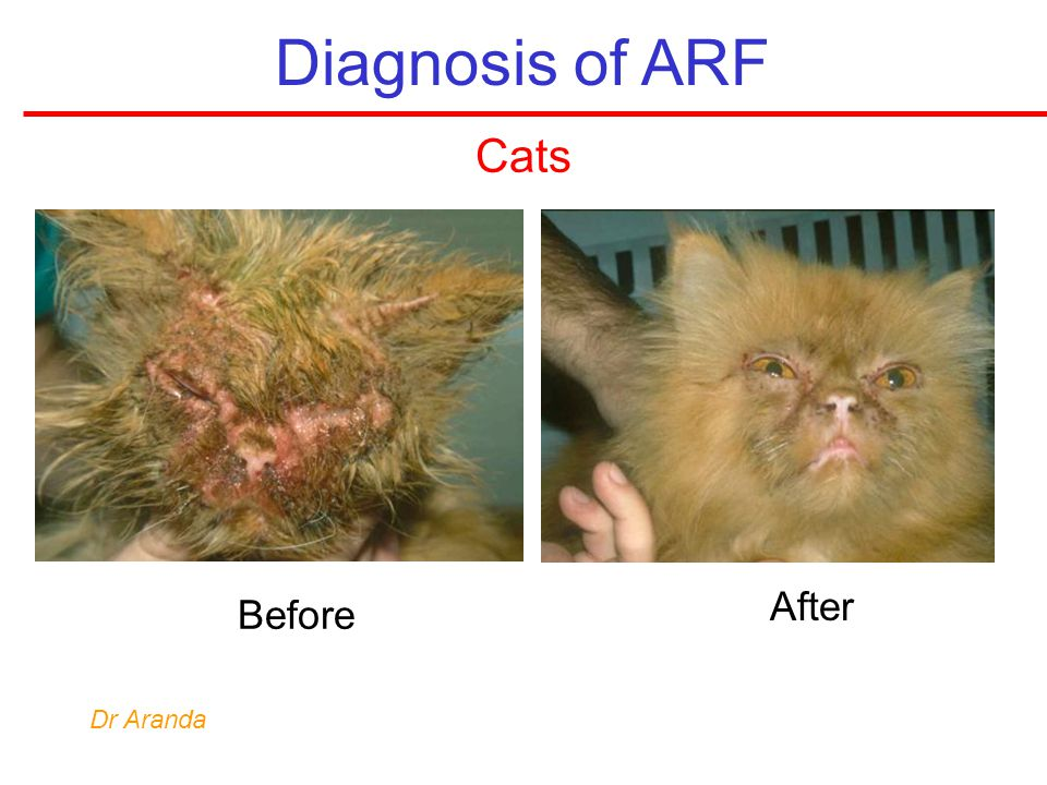 Diagnosis of ARF Cats After Before Dr Aranda