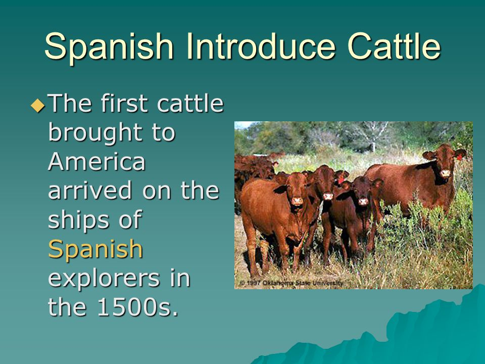 Spanish Introduce Cattle