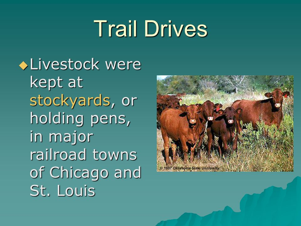 Trail Drives Livestock were kept at stockyards, or holding pens, in major railroad towns of Chicago and St.