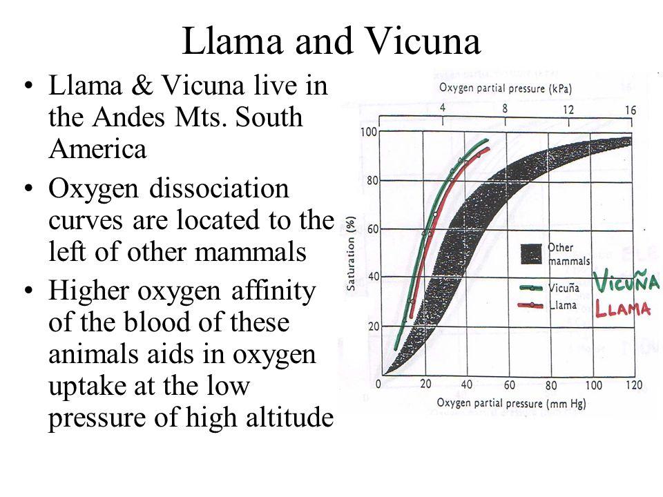 Llama and Vicuna Llama & Vicuna live in the Andes Mts. South America